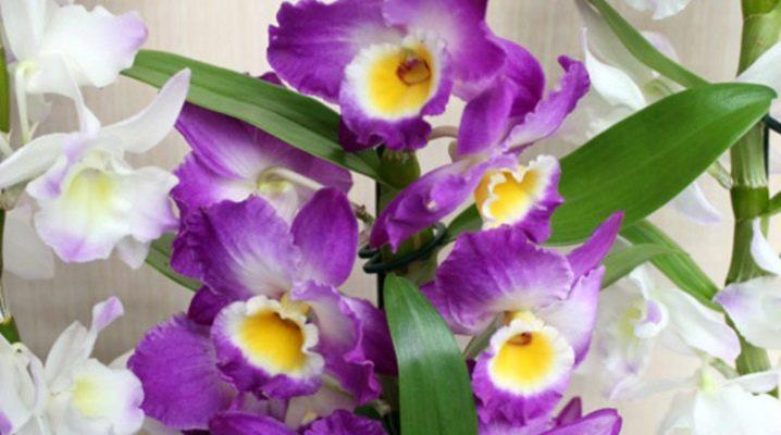 peresadka-orhidei-dendrobium.jpg