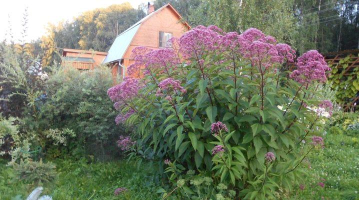 Посконник: виды и тонкости выращивания