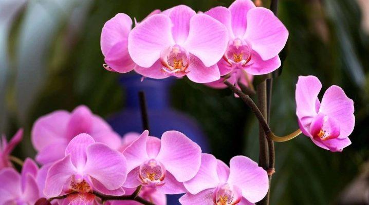 Размножение орхидеи черенками цветоноса