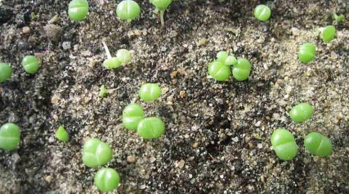 Как вырастить литопсы из семян в домашних условиях из китая thumbnail