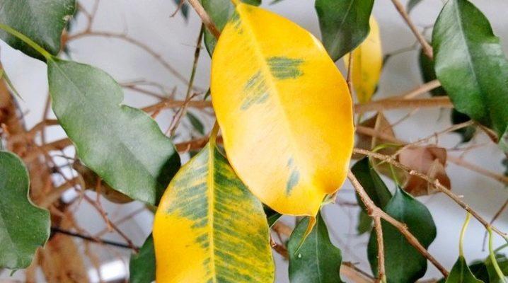 Почему сохнет фикус бенджамина и опадают листья