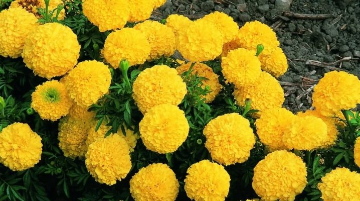 Бархатцы купидон лимонно желтый