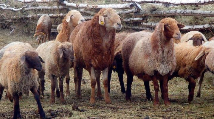 Эдельбай овцы описание породы