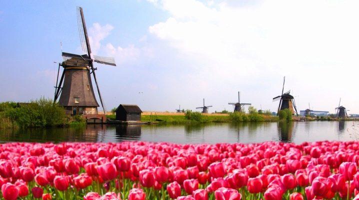 Голландские тюльпаны сорта фото