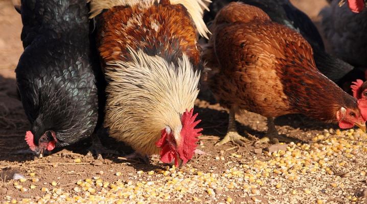 Каким зерном кормить кур - Породы кур
