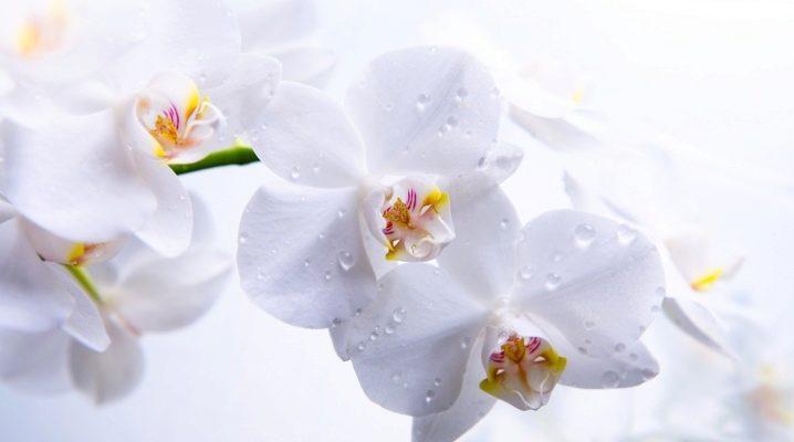 Как спасти орхидею, если она замерзла{q}