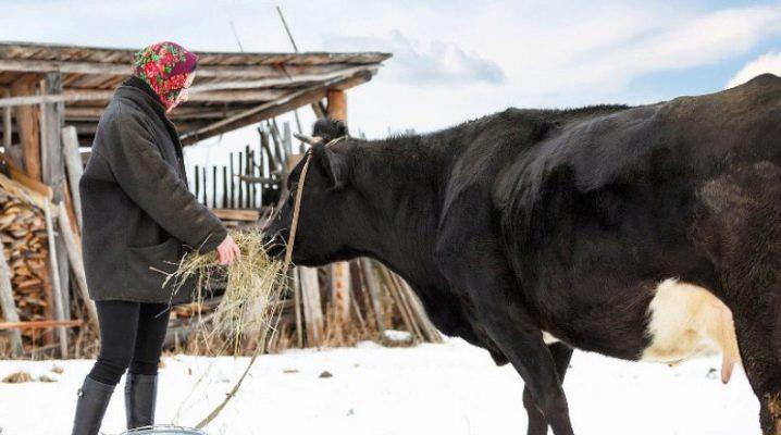 Кормление коровы в зимний период