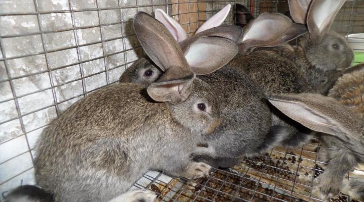 Кролики фландры (35 фото): описание породы бельгийский великан, разведение и содержание в домашних условиях
