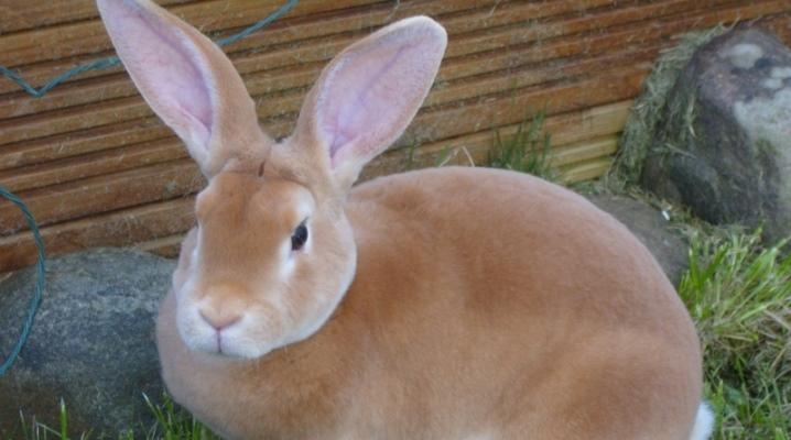 Особенности кроликов породы Рекс, правила по уходу и размножению