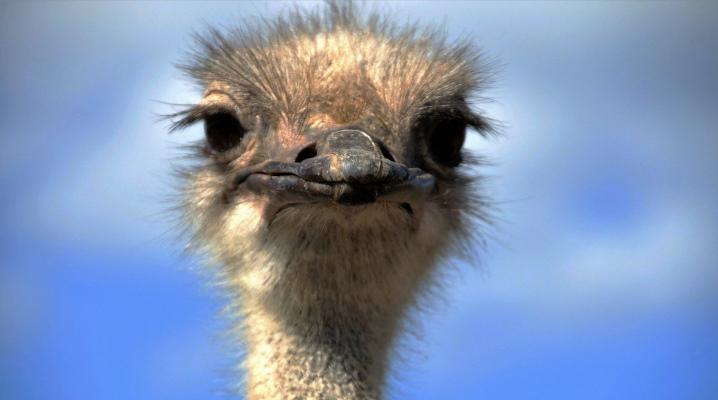Виды страусов список и фото