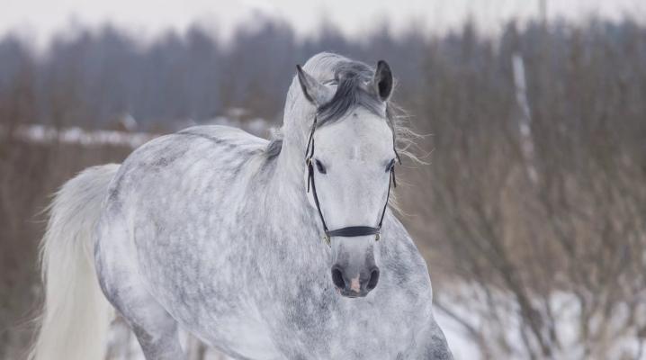 Масть лошади серая в яблоках