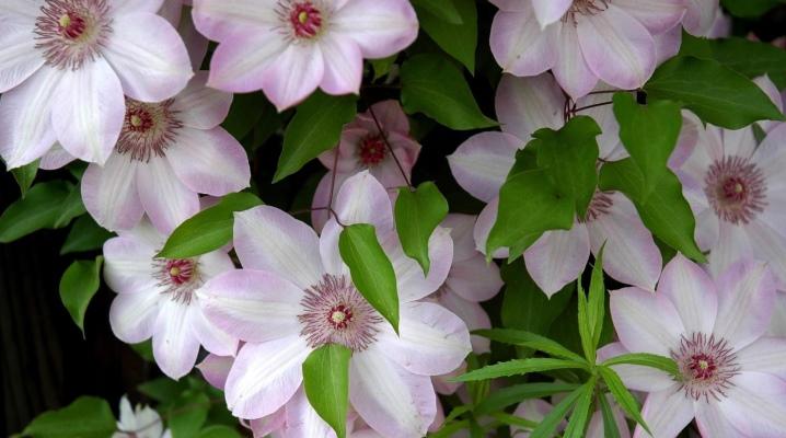 Что делать, если клематис не цветет?