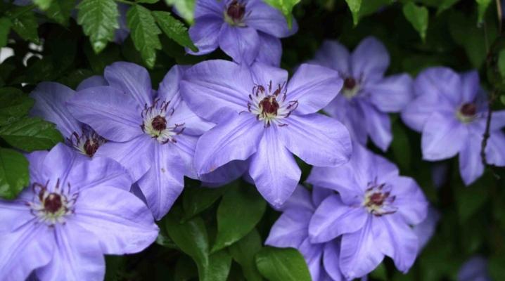 Клематис с синими цветами