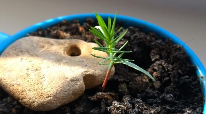 Хвойные посадить семенами