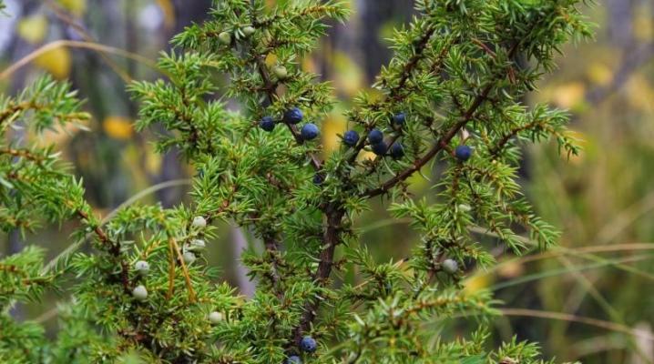 Описание можжевельника обыкновенного: свойства и применение растения, болезни