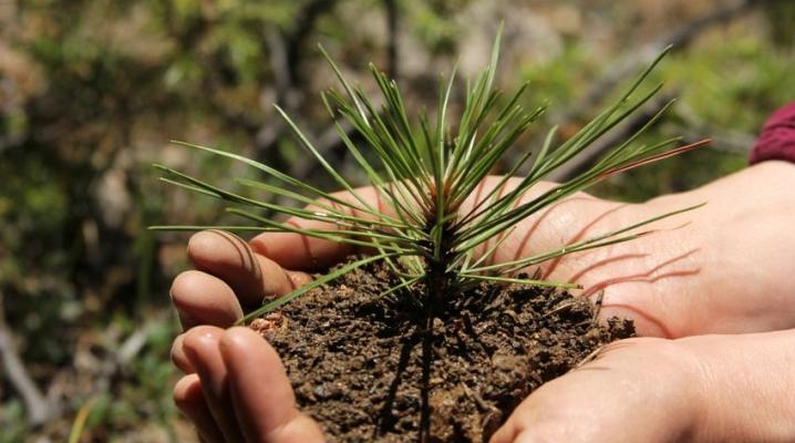 Посадка сосны: как правильно посадить ее на участке и можно ли сажать возле дома? Сажать лучше весной или летом? Как часто поливать сосну после посадки?