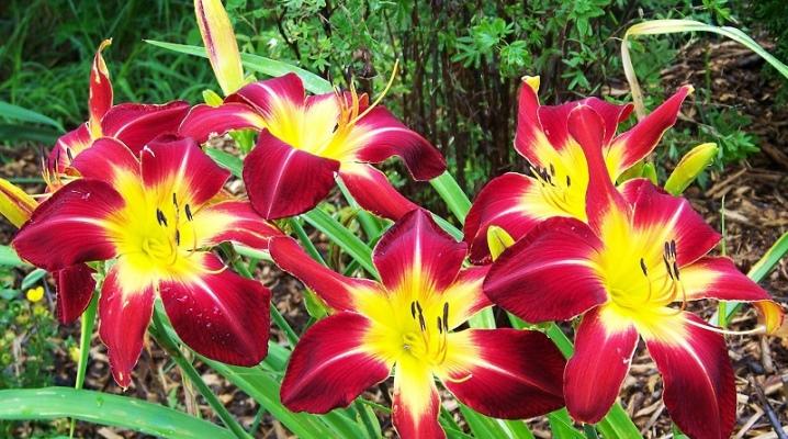 Посадка лилейника весной и летом, условия выращивания, размножение