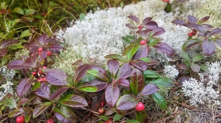 Гаультерия вс о растении и уходе за ним