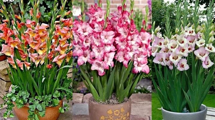 gladiolusy-v-gorshkah-sorta-posadka-i-uhod-1.png