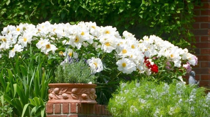 Белое растение для клумбы