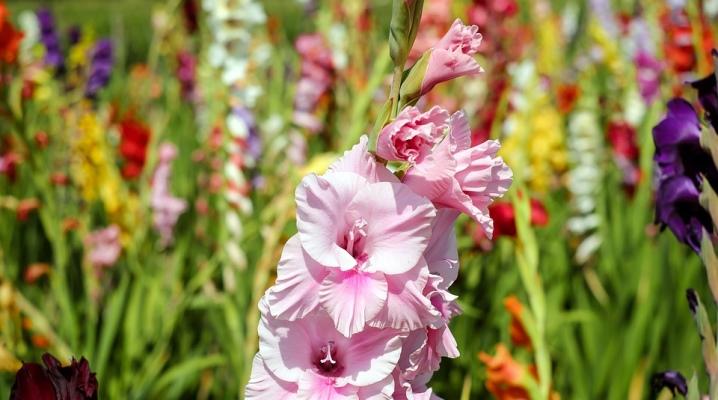 pochemu-gladiolusy-stanovyatsya-odnogo-cveta.jpg