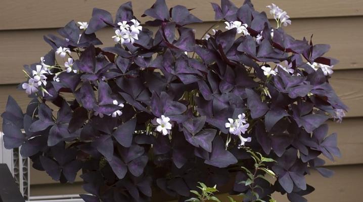 Домашний комнатный цветок с фиолетовыми листьями