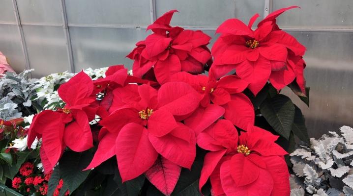 Комнатные цветы с красными листьями (33 фото): бегония краснолистная и другие домашние растения с ярко-красными и красно-зелеными листьями