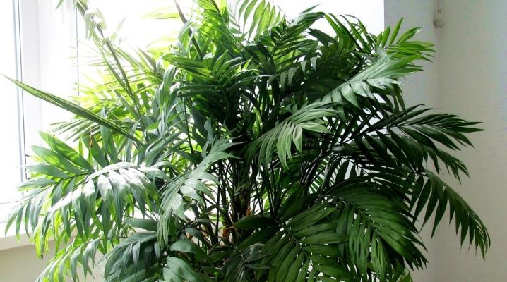 Какие есть разновидности Драцены: как выглядят, описание, известные сорта