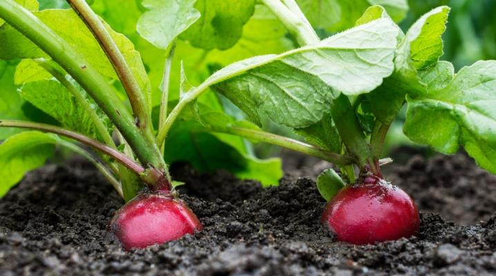 как поливать редис в открытом грунте