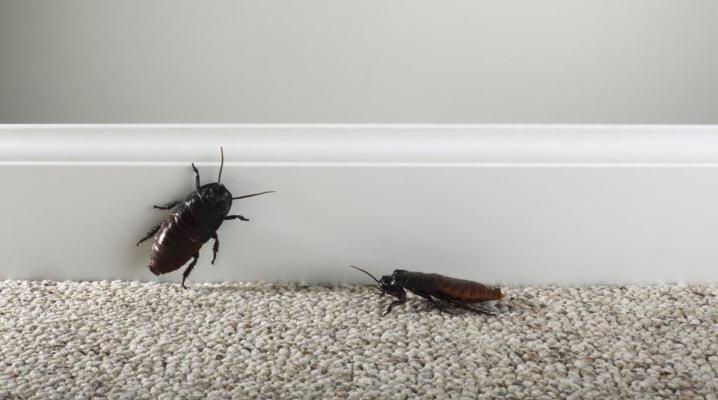 Откуда берутся тараканы? От чего появляются в частном доме? Как заводятся в квартире? Основные причины появления домашних тараканов