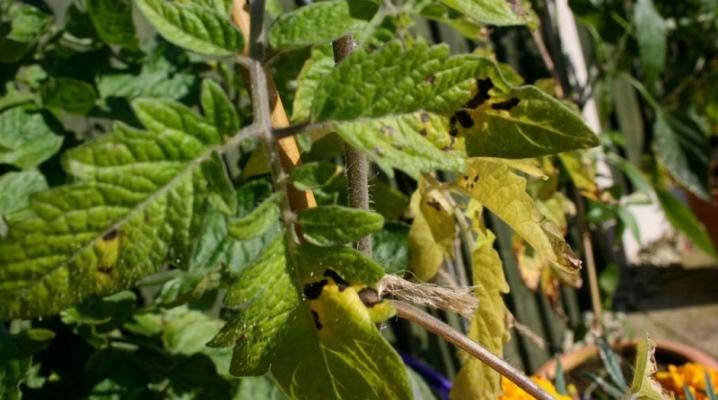 чем полить рассаду помидор если желтеют листья
