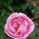 Дамасская роза: описание и выращивание