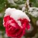 Как подготовить плетистую розу к зиме?