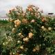 Описание и выращивание роз сорта «Алоха»