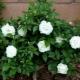 Описание и выращивание сорта роз «Айсберг»