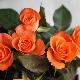 Оранжевые розы: сорта с описанием и их агротехника
