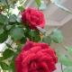 Плетистая роза «Дон Жуан»: описание сорта, особенности посадки и ухода
