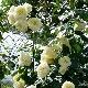 Плетистая роза «Эльф»: описание сорта, посадка и уход