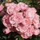 Почвопокровная роза «Фейри»: описание и выращивание