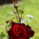 Размножение роз: способы и секреты