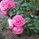 Роза «Лавиния»: описание, выращивание и использование в садовом дизайне