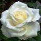 Роза «Маруся»: описание и советы по уходу