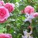 Роза «Парад»: особенности, посадка и уход