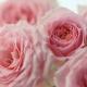 Розовая роза: виды, сорта и выращивание