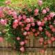 Розы без шипов: описание сортов