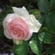 Розы-шрабы: что это такое и как их вырастить?