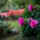 Розы: виды, правила посадки и ухода