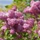 Сирень гиацинтовая: особенности, сорта и выращивание