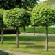 Декоративный клен: виды, выращивание и применение в ландшафтном дизайне