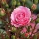 Маленькие розы: сорта и правила ухода